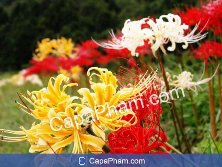Hoa bỉ ngạn: đỏ, vàng, trắng